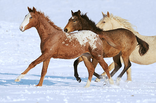 HOR 01 SS0232 01 © Kimball Stock Curly Horse Adult And Foals Galloping Through Snow