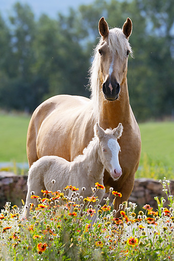 HOR 01 SS0235 01 © Kimball Stock Curly Horse Adult And Foal Standing In Wildflowers