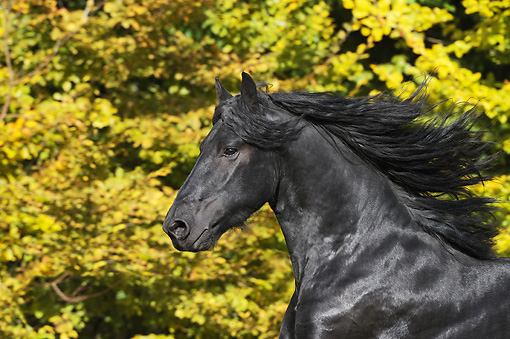 HOR 01 SS0239 01 © Kimball Stock Head Shot Of Friesian Colt Galloping By Autumn Trees