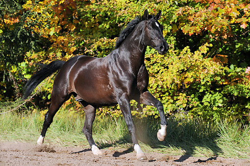 HOR 01 SS0241 01 © Kimball Stock Black German Warmblood Cantering In Meadow