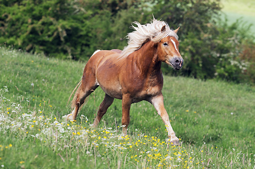 HOR 01 SS0242 01 © Kimball Stock Haflinger Stallion Galloping Through Spring Meadow