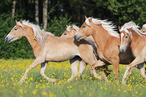 HOR 01 SS0243 01 © Kimball Stock Herd Of Haflinger Horses Galloping Through Spring Meadow