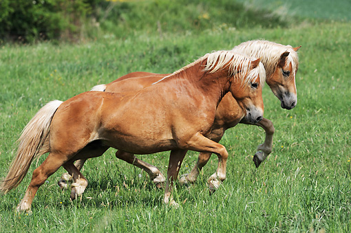 HOR 01 SS0244 01 © Kimball Stock Two Haflinger Stallions Trotting Through Meadow