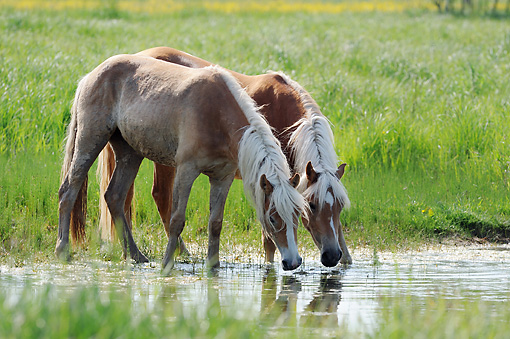 HOR 01 SS0245 01 © Kimball Stock Two Haflinger Fillies Drinking Water In Meadow