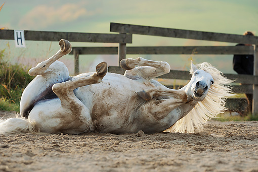 HOR 01 SS0247 01 © Kimball Stock White Horse Rolling In Dirt In Pasture