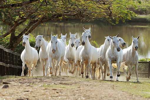 HOR 01 SS0250 01 © Kimball Stock Herd Of White Mangalarga Horses Galloping In Pasture By Pond