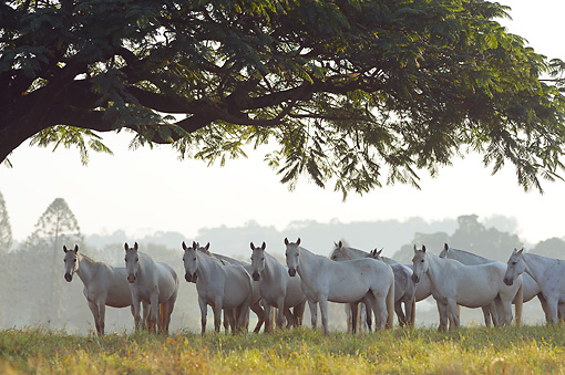 HOR 01 SS0251 01 © Kimball Stock Herd Of White Mangalarga Horses Grazing In Meadow