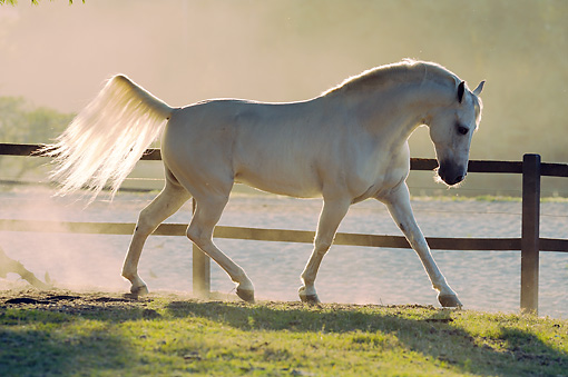 HOR 01 SS0255 01 © Kimball Stock White Mangalarga Horse Cantering In Pasture