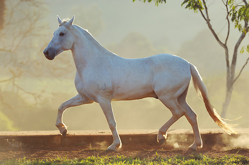 HOR 01 SS0256 01 © Kimball Stock White Mangalarga Horse Cantering In Pasture