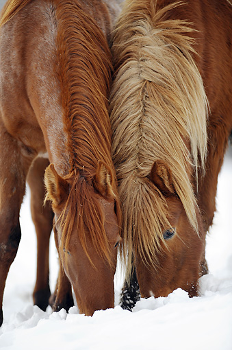 HOR 01 SS0267 01 © Kimball Stock Close-Up Of Icelandic And Mangalarga Colts Eating Grass Under Snow