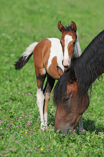 HOR 01 SS0268 01 © Kimball Stock Mangalarga Foal Standing By Mare In Pasture