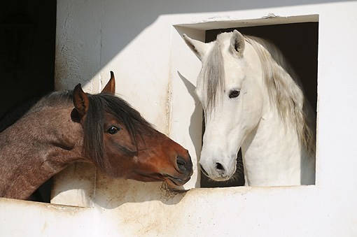 HOR 01 SS0274 01 © Kimball Stock Close-Up Of Two Mangalarga Horses Face To Face In Stable