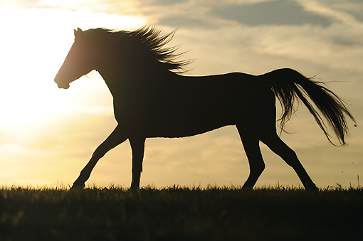 HOR 01 SS0275 01 © Kimball Stock Silhouette Of Morgan Horse Galloping In Field At Sunset