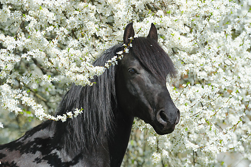 HOR 01 SS0278 01 © Kimball Stock Head Shot Of Morgan Horse Stallion By White Blossoms In Spring
