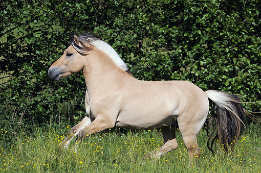 HOR 01 SS0281 01 © Kimball Stock Norwegian Fjord Stallion Galloping Through Spring Meadow