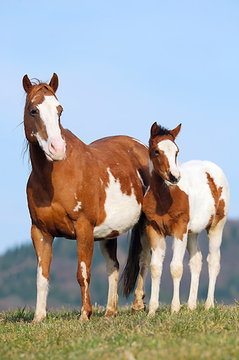 HOR 01 SS0284 01 © Kimball Stock Paint Horse Mare And Foal Standing In Field