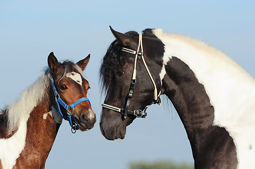 HOR 01 SS0285 01 © Kimball Stock Close-Up Of Paso Fino Adult And Foal Wearing Bridles