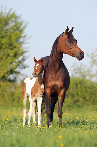 HOR 01 SS0289 01 © Kimball Stock Pinto Arabian Mare And Foal Standing In Spring Meadow
