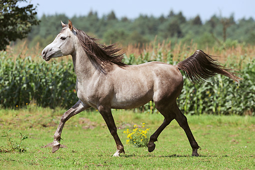HOR 01 SS0293 01 © Kimball Stock Gray Arabian Horse Cantering In Field
