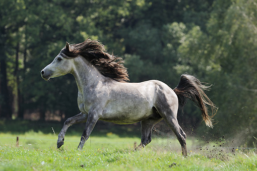 Arabian animal stock photos kimballstock - Arabian horse pictures ...