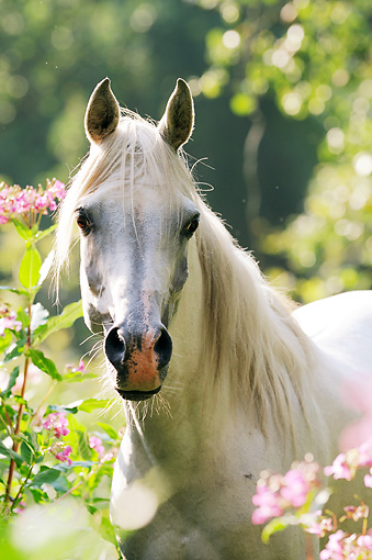 HOR 01 SS0298 01 © Kimball Stock Head Shot Of White Arabian Horse By Pink Flowers