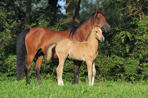 HOR 01 SS0302 01 © Kimball Stock Arabian Mare And Foal Standing In Field
