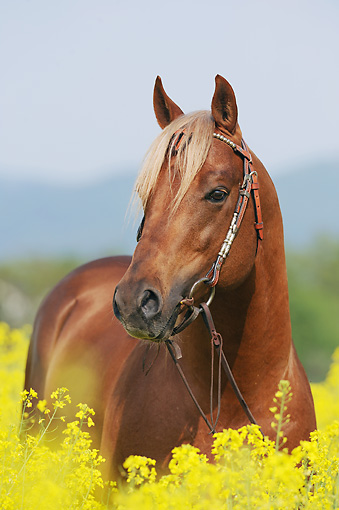 HOR 01 SS0303 01 © Kimball Stock Portrait Of Quarter Horse Standing In Yellow Wildflowers