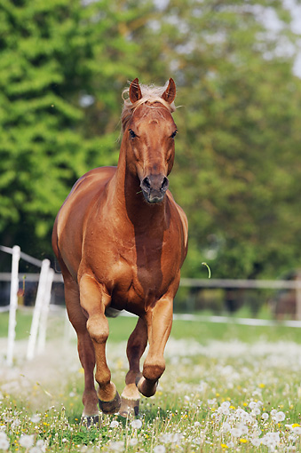 HOR 01 SS0305 01 © Kimball Stock Quarter Horse Stallion Galloping Through Spring Pasture