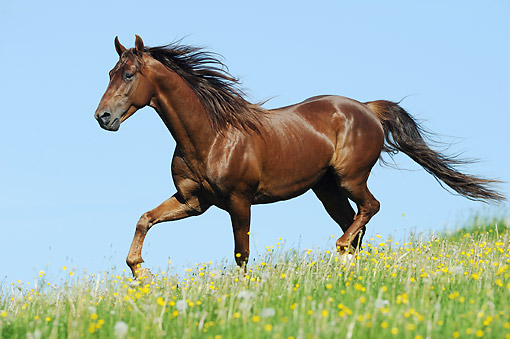 HOR 01 SS0307 01 © Kimball Stock American Saddlebred Stallion Galloping In Spring Meadow