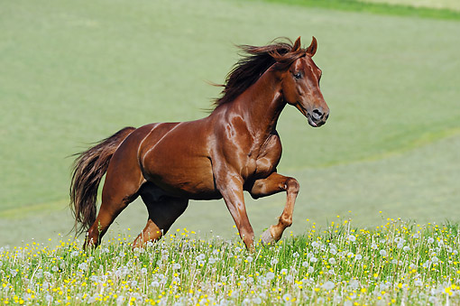 HOR 01 SS0310 01 © Kimball Stock American Saddlebred Stallion Galloping Through Field Of Dandelions