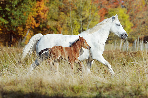 HOR 01 SS0313 01 © Kimball Stock Connemara Pony Mare Galloping With Foal In Autumn Meadow
