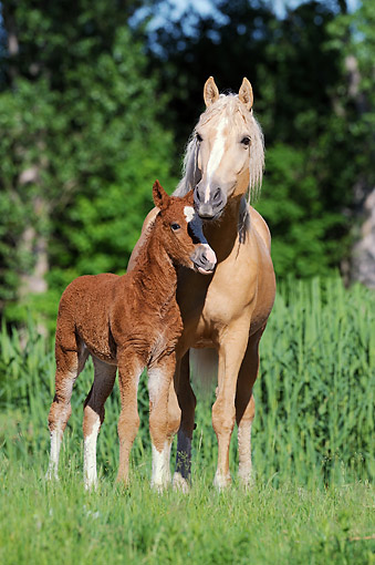 HOR 01 SS0317 01 © Kimball Stock Curly Horse Mare Standing On Grass With Foal