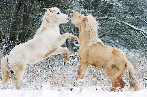 HOR 01 SS0320 01 © Kimball Stock Two Icelandic Colts Playing In Snow