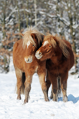 HOR 01 SS0321 01 © Kimball Stock Two Icelandic Colts Nuzzling In Snow