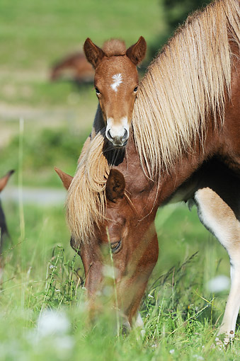 HOR 01 SS0322 01 © Kimball Stock Portrait Of Icelandic Mare Grazing By Foal