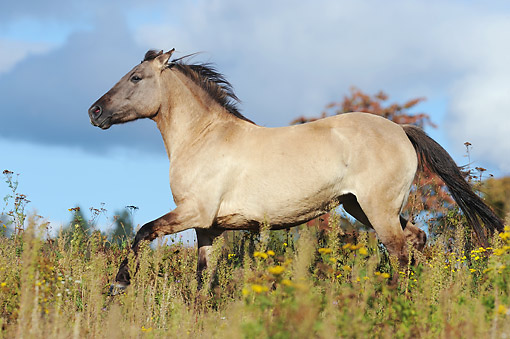 HOR 01 SS0324 01 © Kimball Stock Konik Mare Galloping Through Meadow