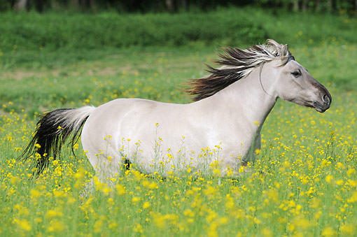 HOR 01 SS0326 01 © Kimball Stock Konik Mare Galloping Through Spring Meadow