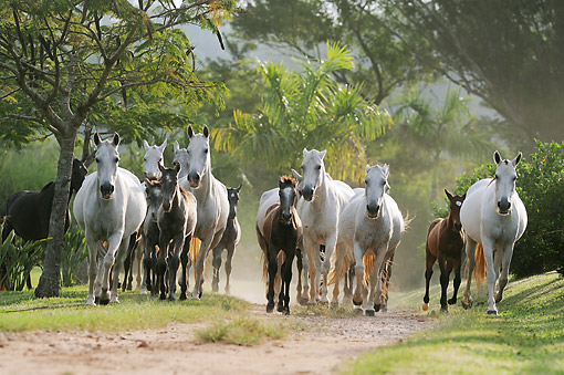 HOR 01 SS0327 01 © Kimball Stock Group Of Mangalarga Marchadores Galloping On Path Brazil