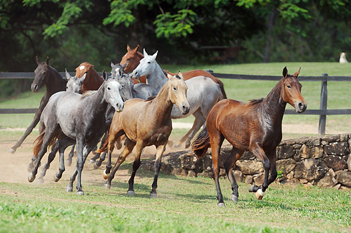 HOR 01 SS0330 01 © Kimball Stock Group Of Mangalarga Marchador Fillies Galloping In Pasture Brazil