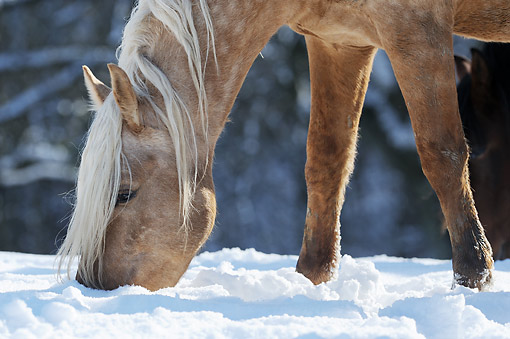 HOR 01 SS0333 01 © Kimball Stock Close-Up Of Mangalarga Marchador Colt Grazing In Snow