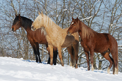 HOR 01 SS0334 01 © Kimball Stock Three Mangalarga Marchador Colts Standing In Snow