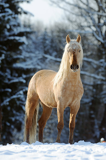 HOR 01 SS0335 01 © Kimball Stock Mangalarga Marchador Colt Standing In Snow