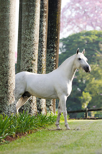 HOR 01 SS0336 01 © Kimball Stock Mangalarga Marchador Stallion Standing By Trees Brazil
