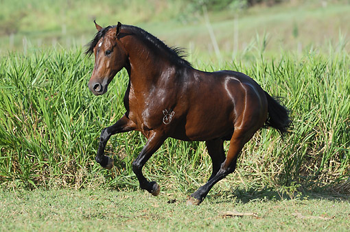 HOR 01 SS0338 01 © Kimball Stock Mangalarga Marchador Stallion Galloping Through Field Brazil