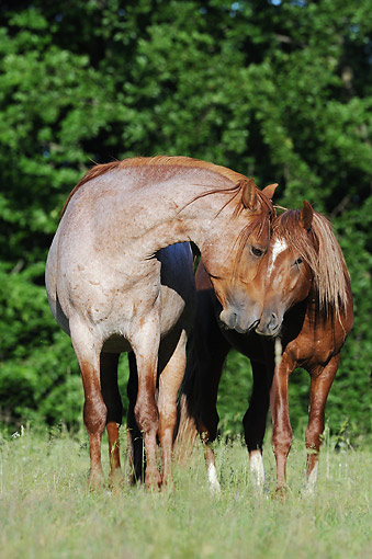 HOR 01 SS0341 01 © Kimball Stock Two Mangalarga Marchador Colts Nuzzling On Grass