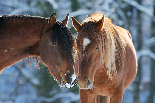HOR 01 SS0342 01 © Kimball Stock Close-Up Of Two Mangalarga Marchador Colts Nuzzling In Winter