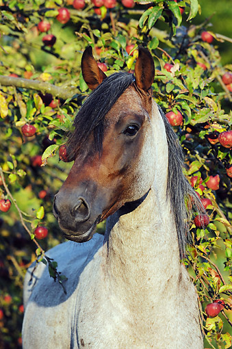 HOR 01 SS0343 01 © Kimball Stock Portrait Of Mangalarga Marchador Stallion Standing By Fruit Tree