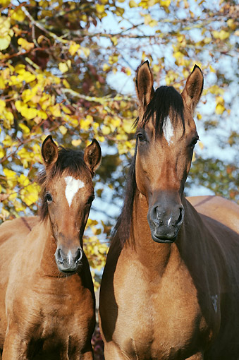 HOR 01 SS0345 01 © Kimball Stock Paso Fino Foal And Mare Standing By Autumn Trees