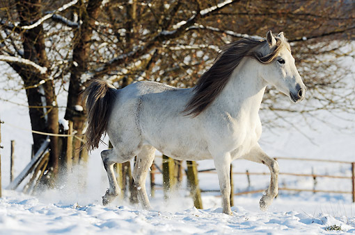 HOR 01 SS0347 01 © Kimball Stock Paso Fino Mare Trotting In Snow Covered Pasture