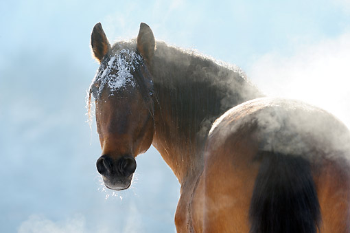 HOR 01 SS0350 01 © Kimball Stock Close-Up Of Paso Fino Stallion Standing In Snow